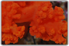 Orange Soft Coral - Cultured