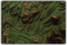 Green Elephant Skin Coral - Cultured