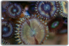 Golden Galaxy Zoanthids