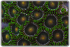 Green Bay Packer Zoanthids