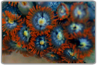 Yellow Eye Flame Skirt Zoanthids