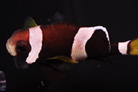 Wide Band Anemonefish - Australian Captive Bred