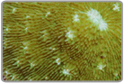 Green Multi Mouth Plate Coral