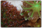 Green Glove Polyps and Purple Hairy Mushroom