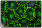 Super Green Fiji Zoanthids