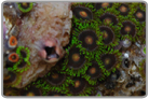 Eclipse Zoanthids
