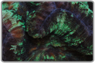 Metallic Green Flat Brain Coral