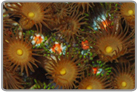 Yellow Polyps and Great Balls Of Fire