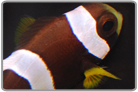 Juvenile Wide Band Anemonefish - Captive Bred