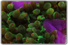 Green Bubble Anemone - Purple Base
