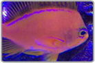 Yellow Fin Anthias