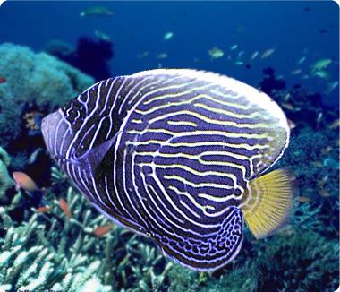 emperor angelfish changing - photo #34