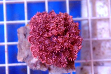 Metallic pink flower pot coral goniopora lobata c4 more images mightylinksfo Choice Image
