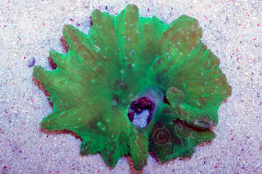Neon Green Flower Leather Coral - Lobophytum spp.