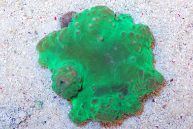 Neon Green Flower Leather Coral - Sinularia dura
