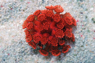 Ultra red flower pot coral goniopora spp mightylinksfo Choice Image