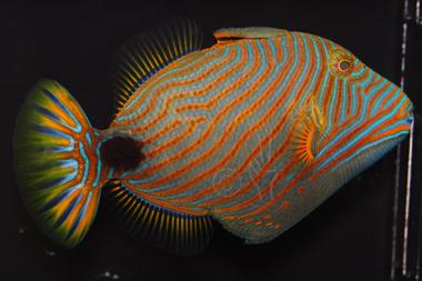 undulated triggerfish balistapus undulatus