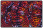 Red Rainbow Acan Lord