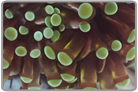 Gold Striped Green Tip Short Tentacle Torch Coral