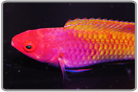 Red Head Fairy Wrasse