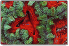 Christmas In Summer! - Red and Green Acan Lord