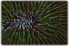 Green Plate Coral