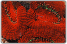 Red Acan Lord Frag