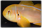 Citron Clown Goby