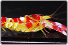 Candy Stripe Pistol Shrimp