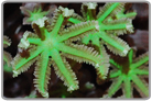 Green Glove Polyps