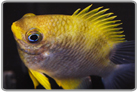Yellow Staghorn Damselfish