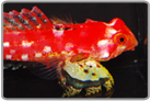 Ruby Red Scooter Dragonet