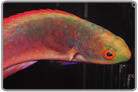 Scott's Fairy Wrasse