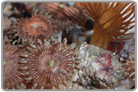 Yellow Polyps and Pink Gun Metal Zoanthids