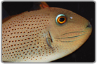 Red-Tail Sargassum Triggerfish