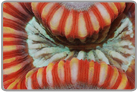 Striped Open Brain Coral