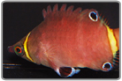 Yellow Banded Possum Wrasse