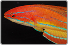 McCosker's Flasher Wrasse - Male