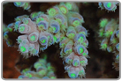 Colored Acropora Coral