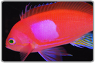 Square Anthias - Male