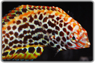 Divided Leopard Wrasse