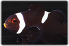 Misbarred Black & White Ocellaris Orange Face - Captive Bred