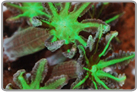 Glove Polyps-Green