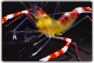 Yellow Coral Banded Shrimp
