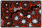 Flame Skirt Zoanthids