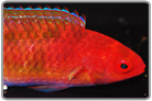 Red-Head Fairy Wrasse