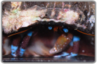 Electric Blue Knuckle Hermit Crab