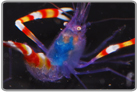 Blue Coral Banded Shrimp