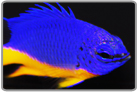 Kupang Damselfish