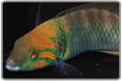 Gold Bar Wrasse